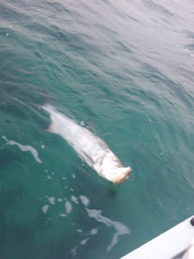 Tarpon run July through October in Galveston